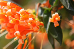 Brightly orange flowers on bush branches, Thailand. South east asia Royalty Free Stock Image