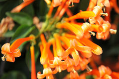 Brightly orange flowers on bush branches, Thailand. South east asia Stock Photo