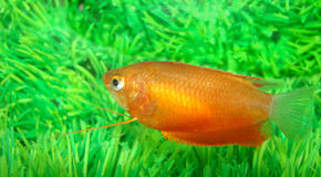 Brightly painted a small fish. Gurami honey red Trichogaster chuna var. (Colisa sota) brightly painted a small fish Stock Photo