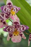 Brightly patterned sepals of Orchid Oncidium Tigersette. The contrasting coloured petals of the orchid  Oncidium  Tigersette stock photo