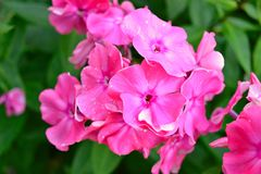Brightly pink Phlox flowers Stock Photography