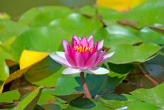 Brightly pink water lily Royalty Free Stock Photos