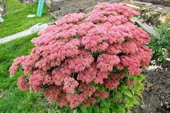 A brightly red bush of a sedum on the background of a garden plot Stock Photography