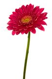 Brightly red flower Royalty Free Stock Images