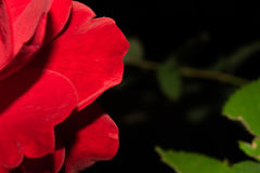 Brightly red rose petals, on a dark background with leaves. Macro. Brightly red rose petals, on a dark background with leaves. Macro Stock Image