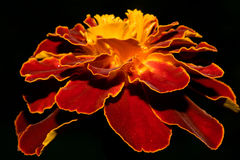 Brightly red yellow marigold flower, on a black background. Macro.  Stock Photos
