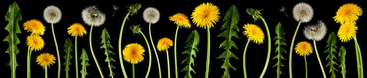 Brightly shining dandelion flowers isolated on black. Can be used as background royalty free stock photo
