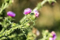 Brightly violet flowers of spiny plumeless thistle Carduus acanthoides Royalty Free Stock Image