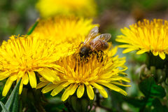 Brightly yellow dandelion flowers in green meadow in countryside. In early summer around summer solstice on romantic sunset background. Bees are seeking nectar Stock Photo