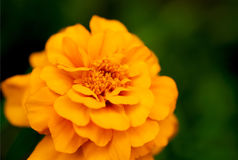 Brightly yellow marigold flower, on a dark green background. Macro. Brightly yellow marigold flower, on a dark green background. Macro Royalty Free Stock Images