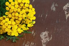 Brightly yellow tansy flowers on old wooden boards. A bouquet of herbs. Pharmacy herb. Tansy close-up. Background. Texture stock images