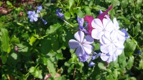 The brightness of blue flowers Royalty Free Stock Photos