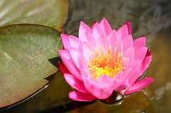 A brightness pink lotus in the pond. A brightness pink lotus bloom in the pond Royalty Free Stock Photo
