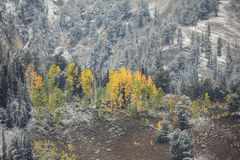 Brightness in the Snow. Golden and green aspen  after a early snow storm above Brighton ski resort in Utah USA Royalty Free Stock Image