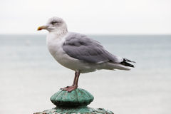 Brighton Bird Stock Photography
