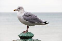 Brighton Bird Stock Photography