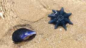 Brighton boxes Melbourne, medium shot dollyBlue starfish moves in water next to mussel shell on the sand stock video footage