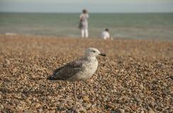 Brighton, Engeland - een jonge zeemeeuw op het strand door het water Stock Foto