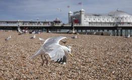Brighton, Engeland - zeemeeuwen die over de kiezelstenen vliegen Stock Afbeeldingen