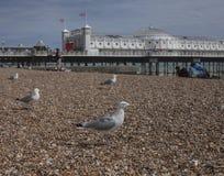 Brighton, Engeland - zeemeeuwen op de kiezelstenen Royalty-vrije Stock Foto's
