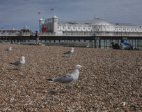 Brighton, England - Seemöwen auf den Kieseln Lizenzfreie Stockfotos