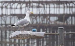 Brighton Herring Gull foto de archivo libre de regalías