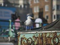 Brighton, Inghilterra - gabbiano fotografie stock libere da diritti