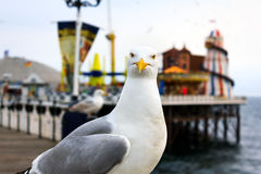 Brighton seagull. A seagull at Brighton, UK. Shallow depth of field. Focus on the eyes royalty free stock photo