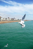Brighton Seagulls Flying In The Air. Seagull flying in the air over the sea on Brightons coast Royalty Free Stock Image