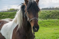 Briglia d'uso del cavallo di Brown Fotografie Stock