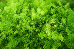 Brigth-Grünfarn Stockfotos
