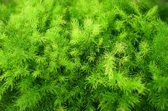 Brigth groene varen Stock Foto's