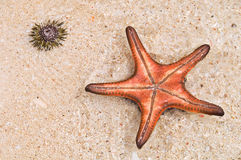 Brigth Starfish and Sea Urchin Stock Image