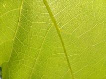 Brilhante, close up, cor, decoração, exploração agrícola, fruto, jardim, uva, verde, imagem, folha, folhas, vida, luz, macro, nat imagens de stock