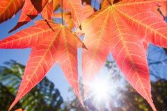 Brilhante e colorido, pseudowilsonii Y de Acer S Wilsonii Rehder de Chen, de Acer ou bordo na estação do inverno Folha bonita no  imagem de stock royalty free
