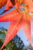 Brilhante e colorido, pseudowilsonii Y de Acer S Wilsonii Rehder de Chen, de Acer ou bordo na estação do inverno Folha bonita no  fotos de stock royalty free