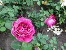 Brilhantemente rosa bonita da magenta com bordas brancas das pétalas do formulário espiral clássico - vista superior Foto de Stock Royalty Free