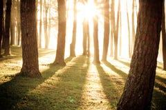 Brilho claro através das árvores Imagens de Stock Royalty Free