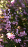 Brilho de Sun em flores da urze Foto de Stock Royalty Free