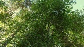 Brilho de Sun entre partes superiores da árvore de floresta panorama de seguimento Baixo-angular vídeos de arquivo