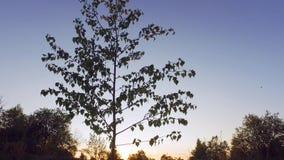 Brilho de Sun entre partes superiores da árvore de floresta panorama de seguimento Baixo-angular video estoque