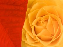 Briliant red Poinsettia in combination with yellow rose Stock Photo