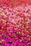 Briljant azaleablommafält Arkivfoto