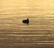 Briljant guld- vatten som reflekterar soluppgången, färgar, fågeldriva Fotografering för Bildbyråer