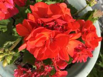 Briljant röd pelargon Arkivfoto