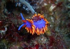 Briljant spansk sjal Nudibranch Royaltyfri Foto
