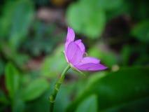 Briljant spenat blommar, lilor färgar, Sri Lanka fotografering för bildbyråer