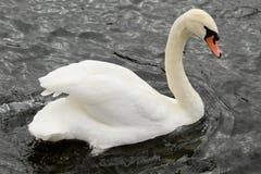 Briljant vit svan med välvt simma för hals som är från vänster till höger mot bakgrunden av en svart flod arkivfoto