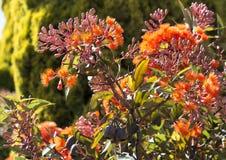 Briljanta blomningar av eukalyptusträdet för blomning för eukalyptusficifolia den västra australiska scharlakansröda i försommar Fotografering för Bildbyråer