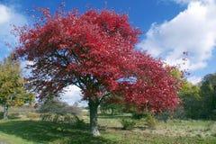 Briljanta röda höstsidor på träd Arkivbild